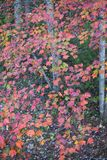 Autumn White Poplar Leaves Fotografie Stock