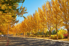 The autumn white poplar Stock Images