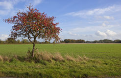 Autumn whitebeam tree Stock Photo