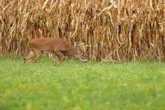 Autumn Whitetail Buck Fotografia Stock