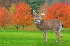 Autumn Whitetail Buck. A beautiful eight- point Whitetail buck on a golf course green Stock Photo