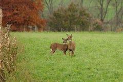 Autumn Whitetails Fotografia Stock