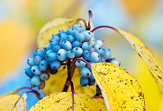 Autumn wild berries. Blue wild berries on the autumn yellow leaves Stock Photography