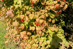 Autumn Wild Berries Stock Images
