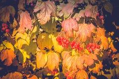 Autumn Wild Berries Royalty Free Stock Image