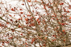 Autumn Wild Berries Royalty Free Stock Images