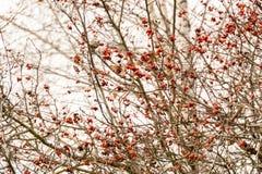 Autumn Wild Berries Stock Image