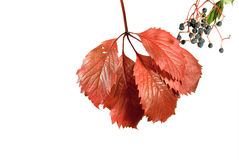 Autumn Wild Grape Royalty Free Stock Images