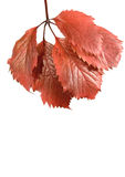 Autumn Wild Grape Leaf Royalty Free Stock Photography
