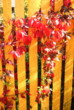 Autumn  wild grape red leafs on the green hedge Stock Image