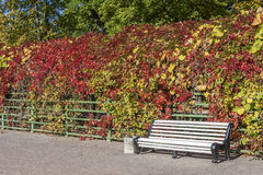Autumn Wild Grapes And Bench photos stock