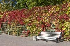 Autumn Wild Grapes And Bench Stock Photos