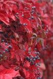Autumn wild grapes close up. Red autumn wild grapes close up Stock Photos