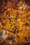 Autumn wild pear Stock Photography