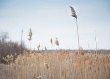 Autumn wild reeds Stock Photo