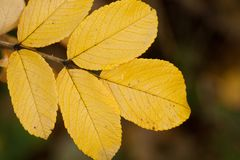 Autumn wild rose leaf, close-up. Beautiful autumn leaf of wild rose, close-up royalty free stock photo