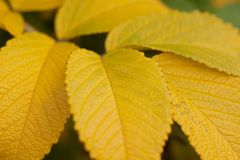 Autumn wild rose leaf, close-up. Beautiful autumn leaf of dog rose, close-up stock photography
