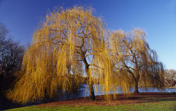 Autumn Willow. Two willow trees in late autumn after they have shed their leaves Royalty Free Stock Photo