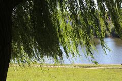 Autumn willow stand on the lake. Sunny day royalty free stock images