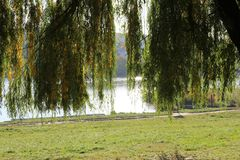Autumn willow stand on the lake. Sunny day royalty free stock photography