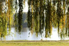 Autumn willow stand on the lake. Sunny day stock photos