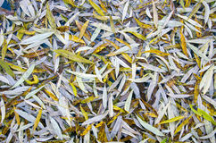 Autumn willow tree leaves background Stock Images