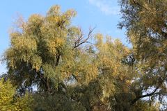 Autumn willow. Trees in autumn. Yellow foliage. Trees by the river. royalty free stock photo