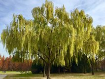 The Autumn Willows in Beijing. Chaoyang Park royalty free stock image
