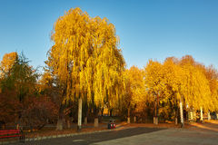 The autumn willows sunset Stock Photography