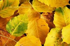 Autumn wilt yellow  Bo leaf  heap on the floor. Texture background Royalty Free Stock Photos