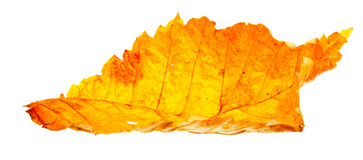 Autumn wilting leaf. Autumn leaf, isolated on a white background Stock Photography