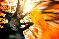 Autumn Wind Blowing Yellow Leave fuera de la rama de árbol Hoja seca que cae imagen de archivo libre de regalías