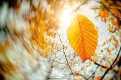 Autumn Wind Blowing Yellow Leaves Dalende Bladeren Droog blad Zonsondergang in het Park de zon glanst stock foto