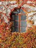 Autumn window in ivy Stock Images