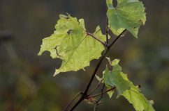 Autumn in wineyard Stock Images