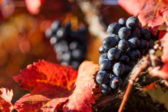 Autumn in wineyard. Redish colored wineyard in autumn Stock Photo