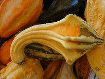Autumn wings, Cucurbita pepo Stock Image