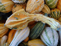 Autumn wings, Cucurbita pepo Royalty Free Stock Image