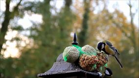 Autumn, winter, birds, tit, great tit, bird seed stock video