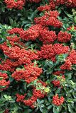 Autumn-winter decorative bush Pyracantha Coccinea. Beautiful autumn-winter bush with red small fruits.Natural fruit background royalty free stock photo