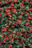 Autumn-winter decorative bush Pyracantha Coccinea. Beautiful autumn-winter bush with red small fruits.Natural fruit background stock photography