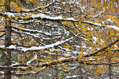 Autumn and Winter. Forest in Huanglong, China Royalty Free Stock Photo