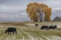 Autumn into Winter - fresh snow falls on autumn trees and cows o. OCTOBER 9, 2017 - RIDGWAY COLORADO - Autumn into Winter - fresh snow falls on autumn trees and Stock Photography