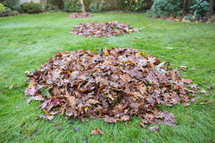 Autumn or winter leaves swept into big piles on grass Royalty Free Stock Image