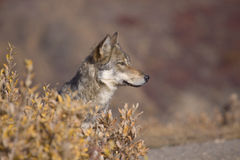 Autumn Wolf Sideview Royalty Free Stock Image