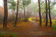 Autumn wood. Shady misty wood in autumn Royalty Free Stock Photography