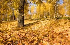 Autumn wood Stock Image