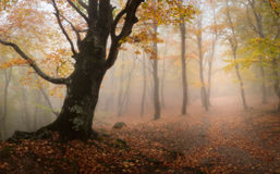 Autumn wood. In this photo the beautiful autumn wood in fog Royalty Free Stock Photos