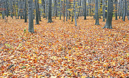 Autumn wood Stock Photo