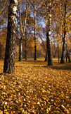 The autumn wood Stock Image